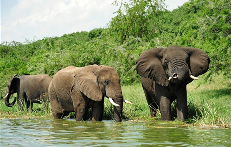 Julie Larsen Maher_5944_African Elephants in wild_UGA_06 22 10_hr