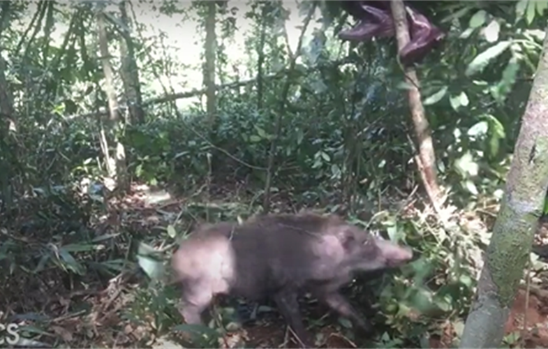 Wild boar briefly trees WCS conservationist after the rescue CREDIT: WCS Cambodia