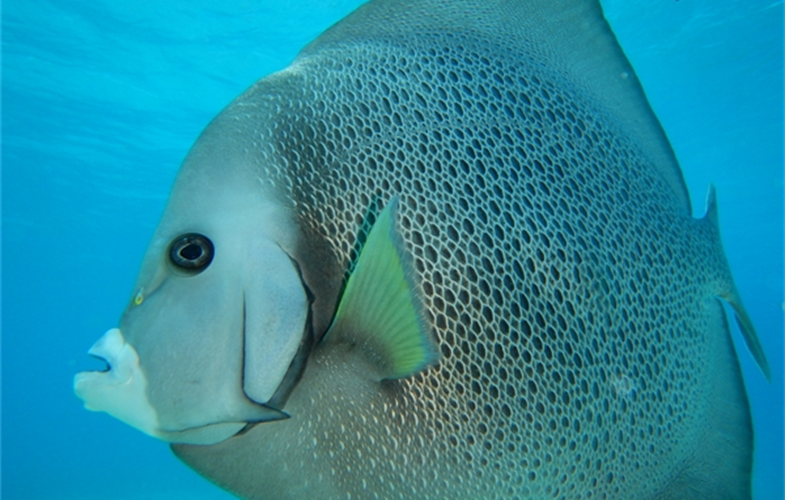 Gray Angelfish. CREDIT: V. Alamina/WCS
