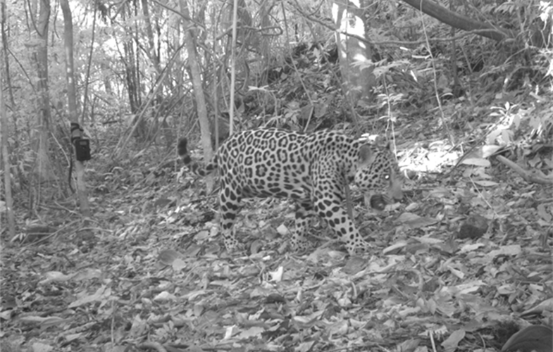 A camera-trap image of a jaguar—largest cat species in the Western Hemisphere—in Nicaragua's Bosawás Biosphere Reserve. CREDIT: Fabricio Diaz Santos/Wildlife Conservation Society.