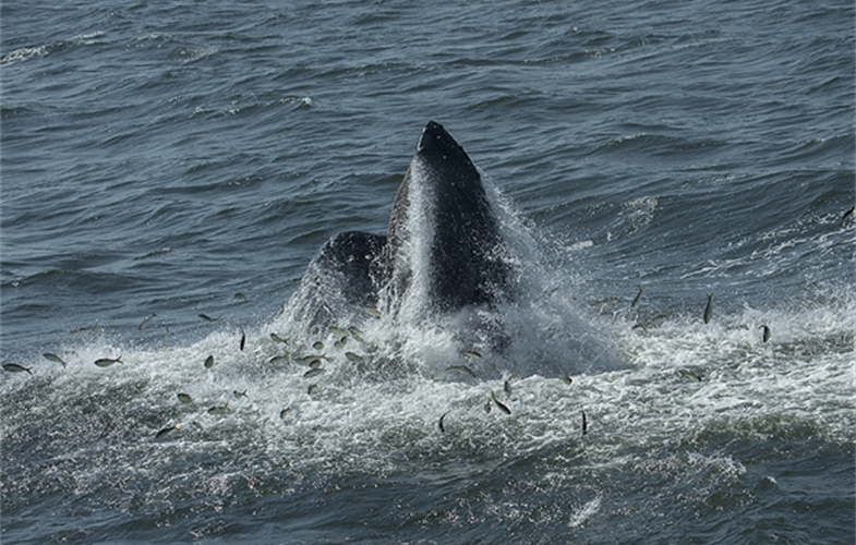 4_©Julie Larsen Maher 4748 Humpback Whale Feeding NY Bight 08 27 15 (small)