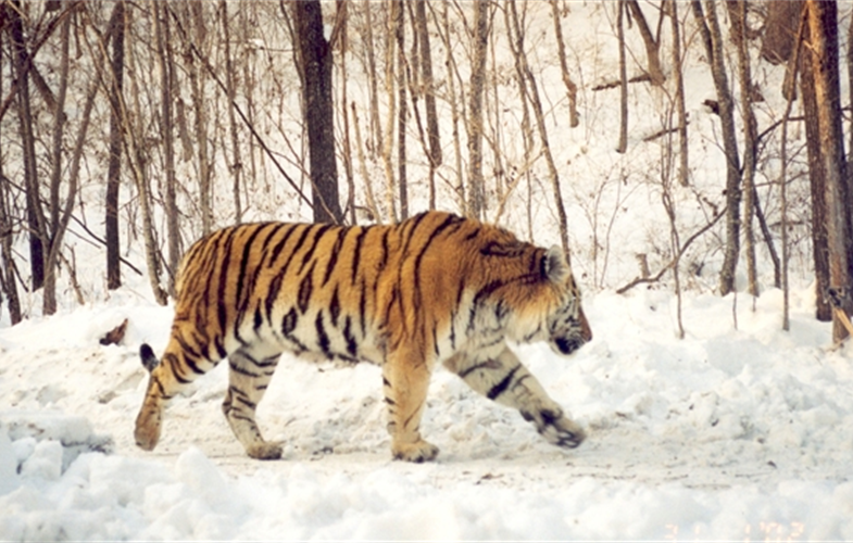 An Amur tiger walks along a forest road in Primorye, Russia. Photograph © WCS Russia and Institute of Biology and Soil Science, FEBRAS.