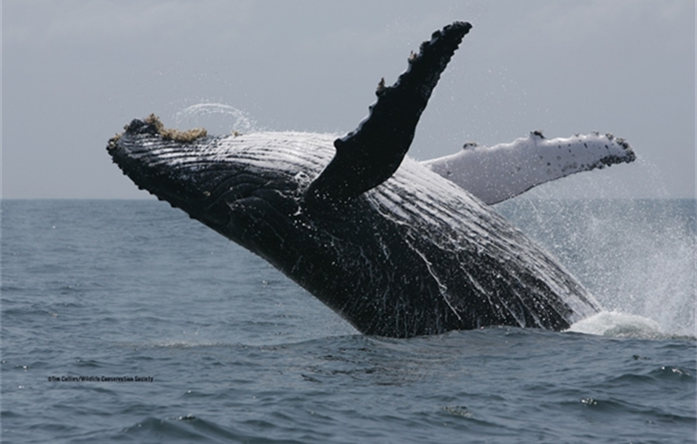 A breaching humpback whale in the waters of Gabon. CREDIT: Tim Collins/WCS