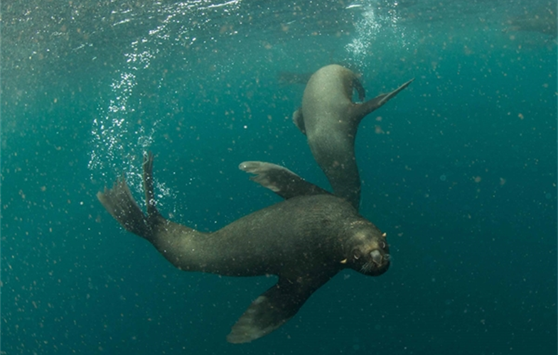 South American Sea Lion CREDIT Enric Sala/Pristine Seas