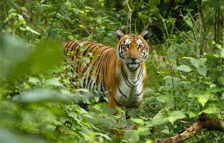 A Royal Bengal tiger. Photo by - Kalyan Varma