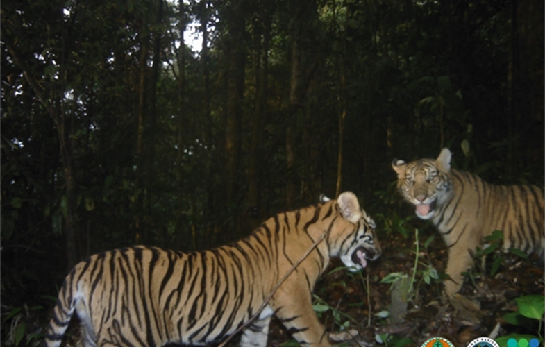 Camera trap image of Sumatran tigers in BBSNP