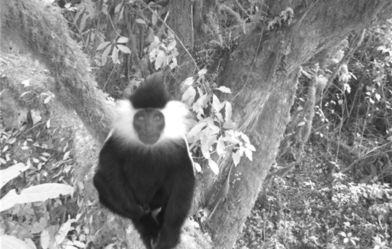 Colobus monkey CREDIT WCS Rwanda Program