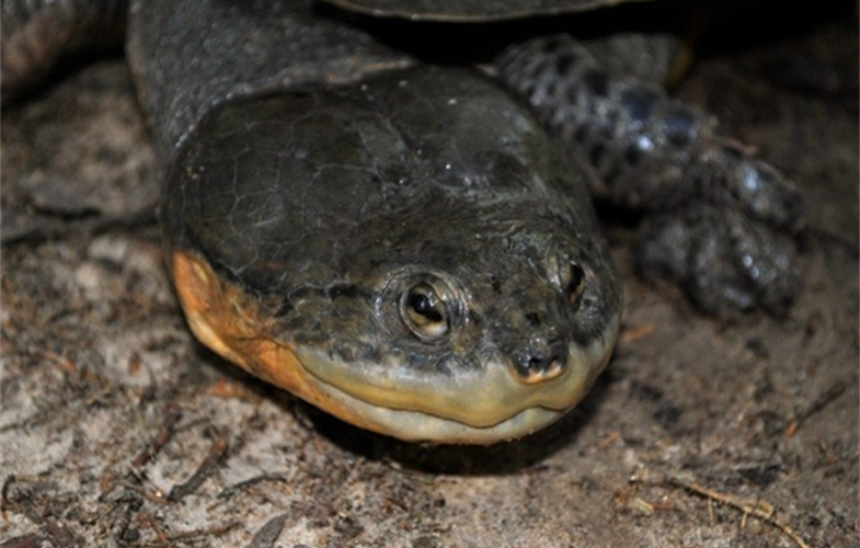 Dahl's headed turtle (small)