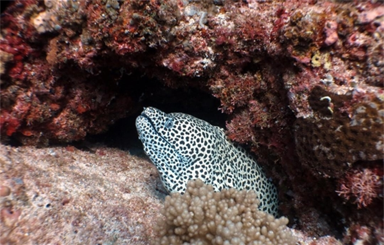 A black-spotted moral eel (Gymnothorax moringa) in the newly created Luconia Shoals Marine. National Park in Sarawak, Malaysia. CREDIT: Kandau/SFC.