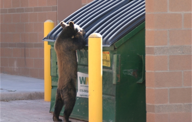 A black bear raiding a dumpster in Colorado. CREDIT: S. Lischka