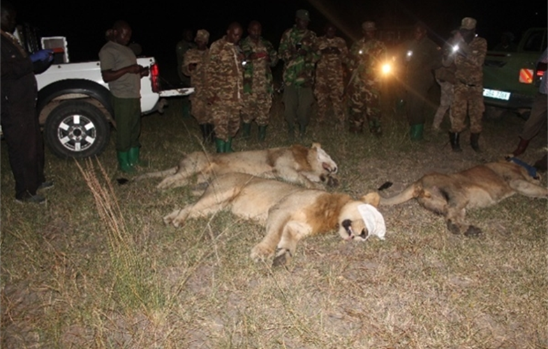 Three male lions were tranquilized and moved out of harm's way. CREDIT: WCS UGANDA