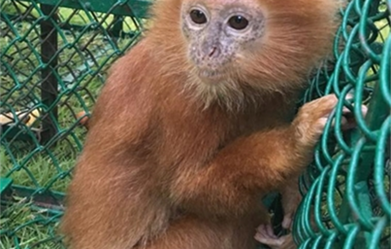 Confiscated baby langur -- India. CREDIT INTERPOL