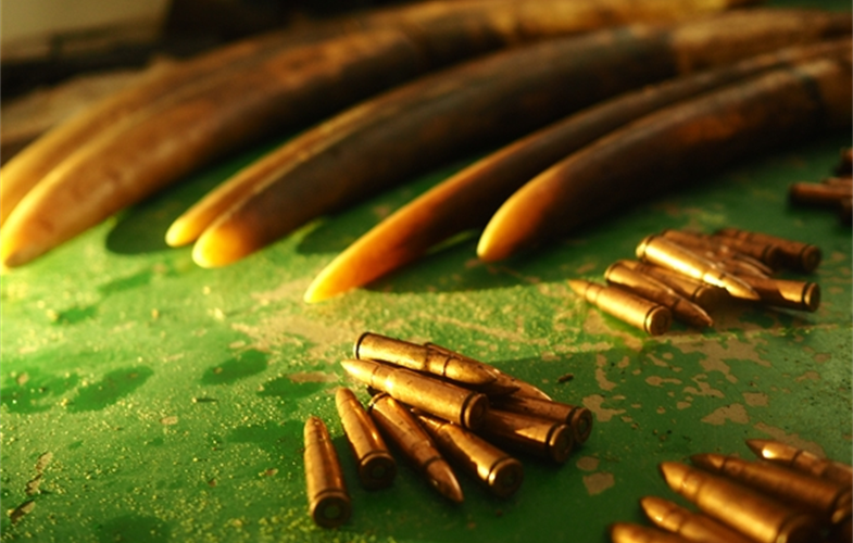 Ivory and ammunition seized from a group of poachers - Copyright Forrest HoggWCS