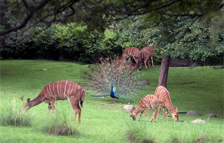 Julie Larsen Maher_0098_Nyala and Indian Peacock_AFP_BZ_06 06 06_hr