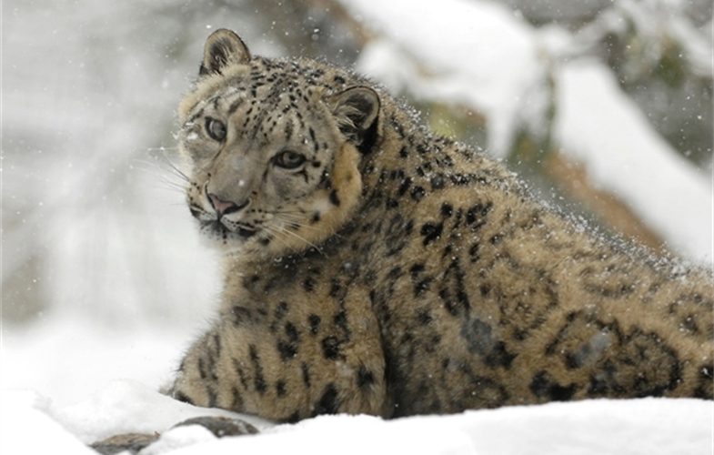 Julie Larsen Maher_1474_Snow leopard in snow_02 22 08_hr