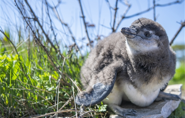 An African black-footed penguin chick at the New York Aquarium. CREDIT: (c)Julie Larsen Maher/WCS