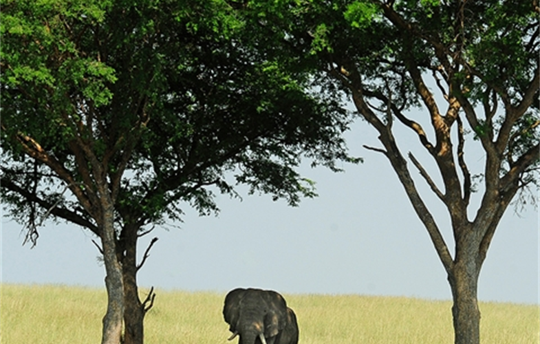 Julie Larsen Maher_2610i_African Elephant Under Trees_UGA_06 30 10_hr
