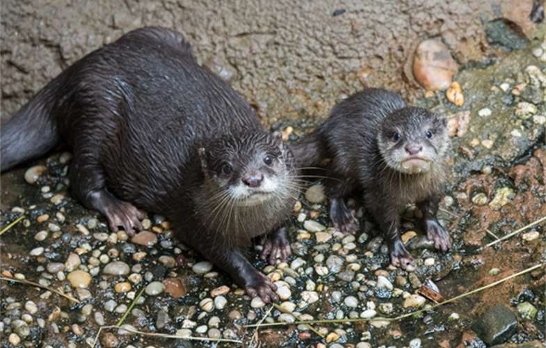 Julie Larsen Maher_3517_Asian Small-clawed Otters and Pup_JUN_BZ_09 04 15_hr