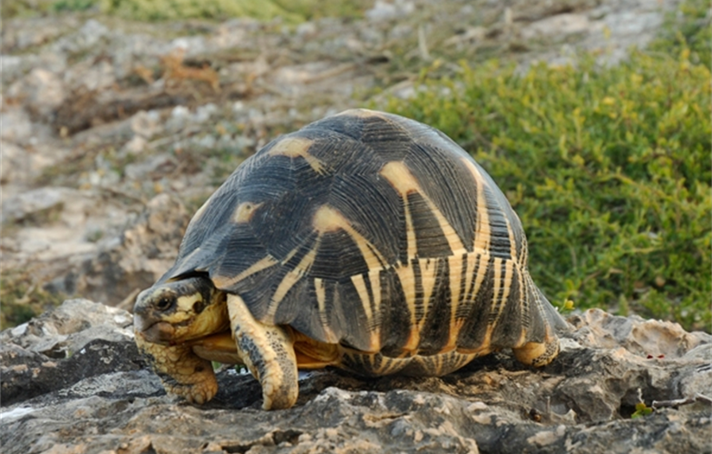 Julie Larsen Maher_5030_Radiated Tortoise on cliff_MDG_06 24 05