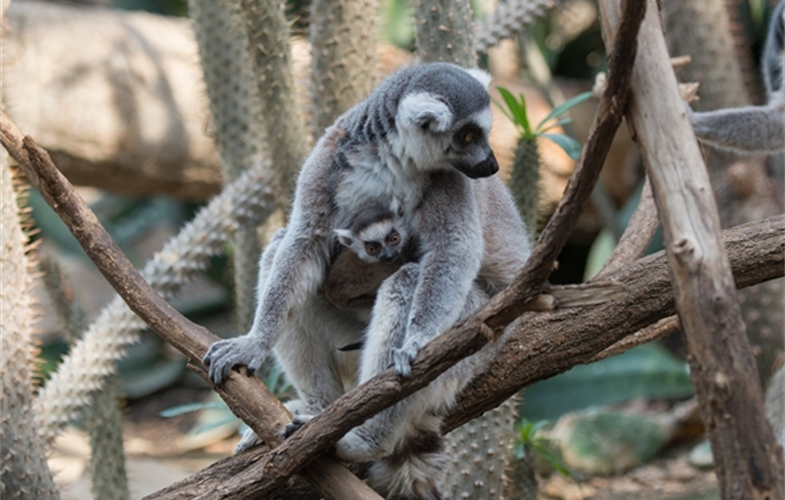 Julie Larsen Maher_5702_Ring-tailed Lemur and Baby_MAD_BZ_04 05 16_hr
