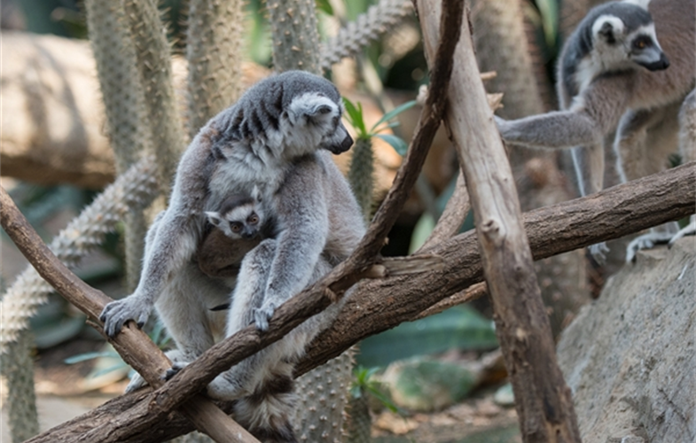Julie Larsen Maher_5703_Ring-tailed Lemur and Baby_MAD_BZ_04 05 16_hr