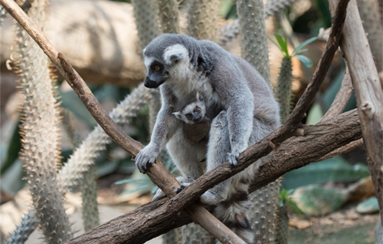 Julie Larsen Maher_5710_Ring-tailed Lemur and Baby_MAD_BZ_04 05 16_hr