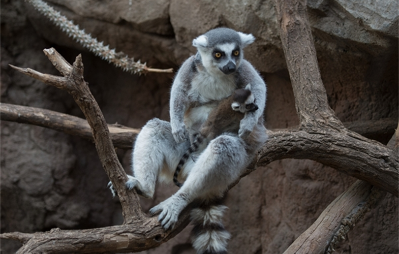Julie Larsen Maher_5720_Ring-tailed Lemur and Baby_MAD_BZ_04 05 16_hr