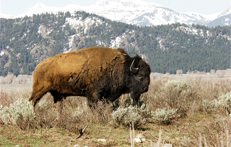 Julie Larsen Maher_5816_American Bison in wild_YELL_05 05 06_hr