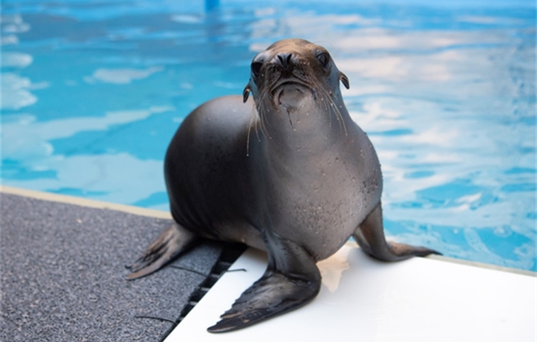 Erie the California sea lion pup. CREDIT: Julie Larsen Maher © WCS