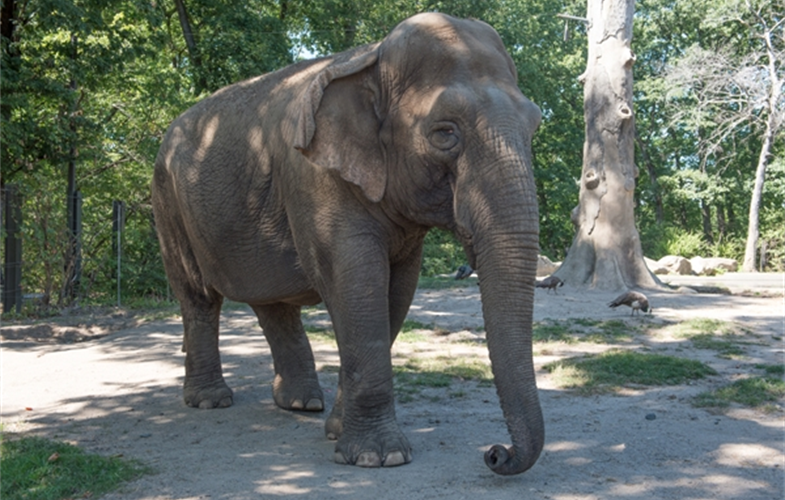 Maxine A 48 Year Old Asian Elephant Has Been Euthanized At The