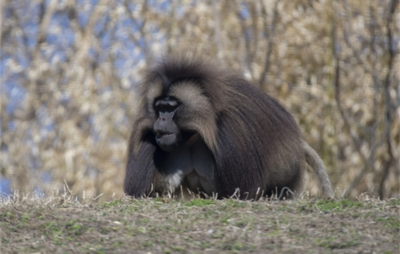 Julie Larsen Maher_8962_Gelada and Baby_AFP_BZ_04 03 19.JPG