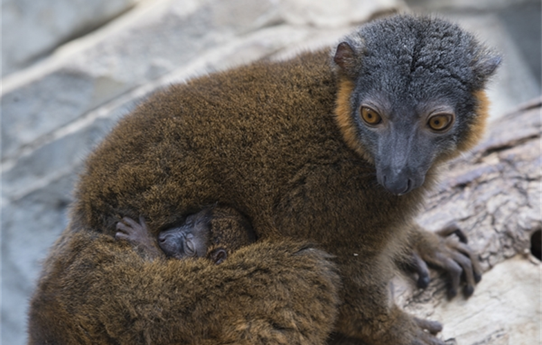 Julie Larsen Maher_8991_Collared Lemur and Baby_MAD_BZ_04 14 16.JPG