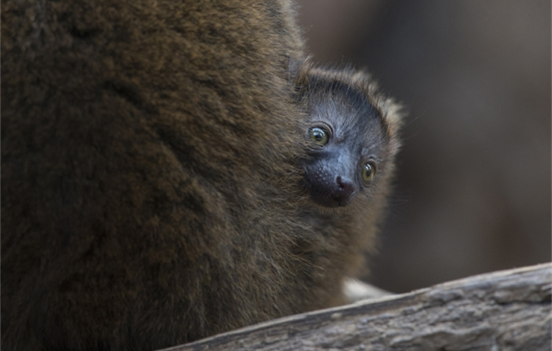 Julie Larsen Maher_9139_Collared Lemur and Baby_MAD_BZ_04 14 16.JPG