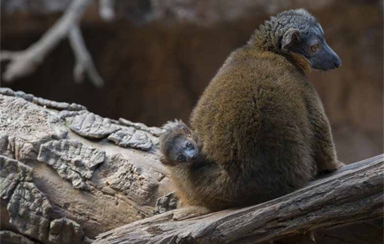 Julie Larsen Maher_9161_Collared Lemur and Baby_MAD_BZ_04 14 16.JPG