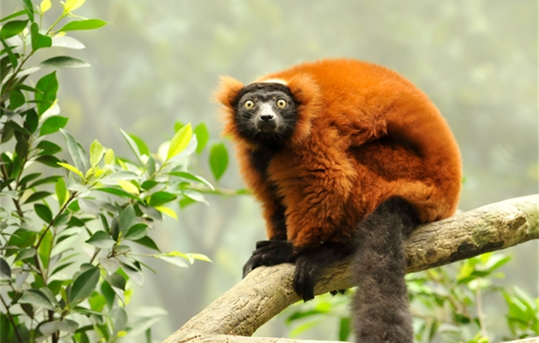 Julie Larsen Maher_9559_Red-ruffed lemur_MAD_BZ_06 06 08_hr
