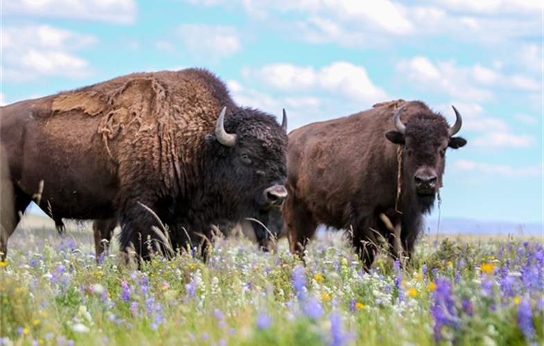 Blackfeet Buffalo Herd CREDIT: Kelly Stoner/WCS