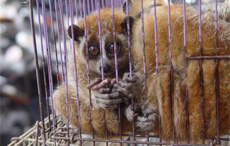 Slow lorises, which are hosts to pathogens that can jump to humans, are among the wildlife commonly sold at commercial markets that trade in wild animals. CREDIT: E. Bennett, WCS