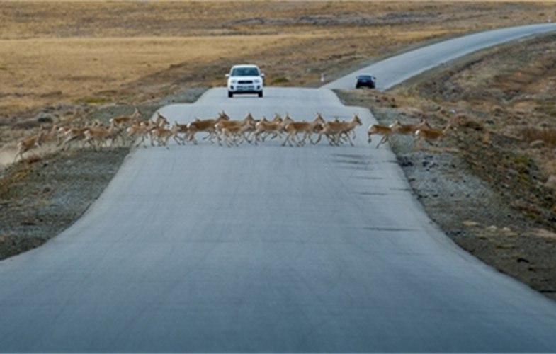 Mongolian gazelle on road copyright Ganbayar Hureelen WCS