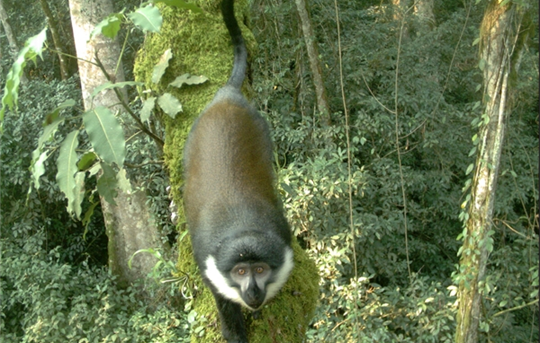 Mountain monkey CREDIT WCS Rwanda Program