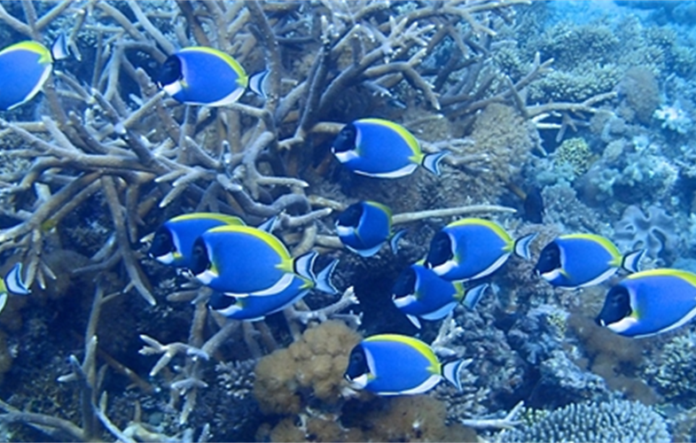 A school of powder blue tang in coral reefs off East Africa. CREDIT: T. McClanahan