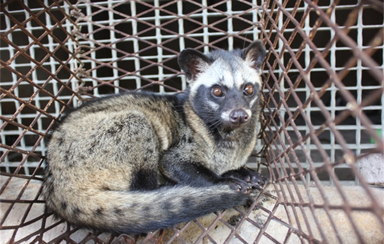 Palm civet in a wildlife farm in Dong Nai Province, Viet Nam