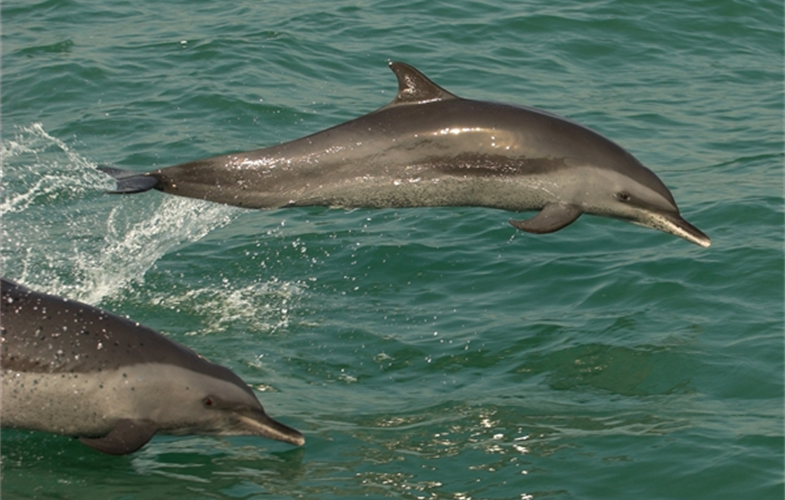 Pan tropical dolphins in Bangladesh