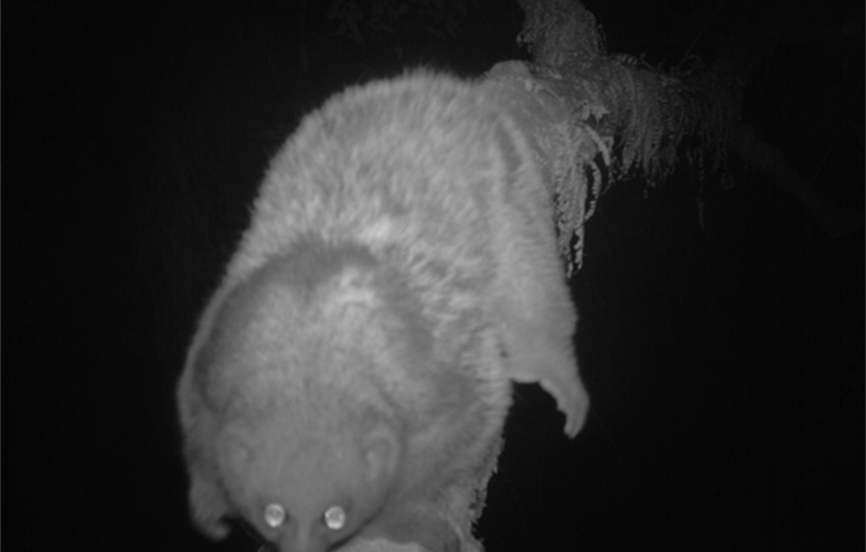Potto CREDIT WCS Rwanda Program