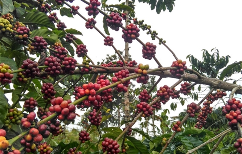 Robusta coffee growing in BBSNP