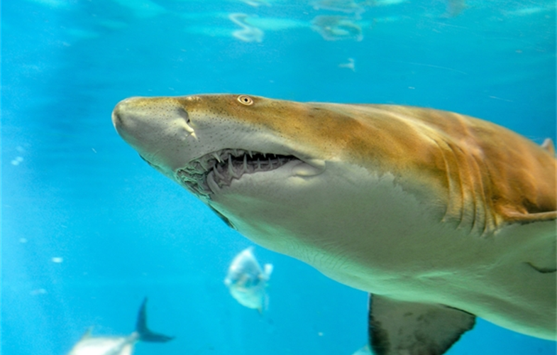 Sand Tiger (small)