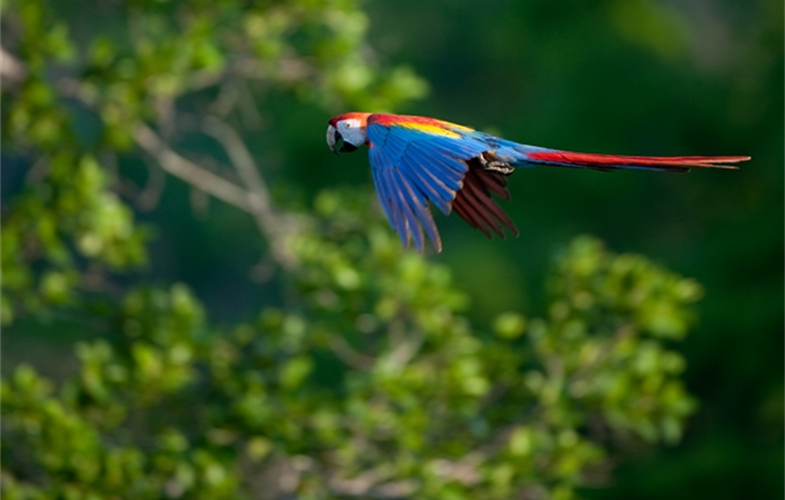 Scarlet Macaw Flying CREDIT: Chris Packham