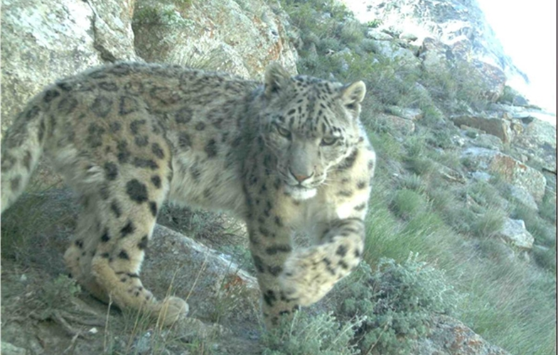 Snow Leopard camera trap shot sm
