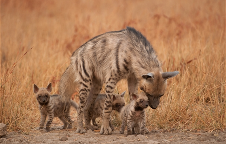 Striped Hyenas ©KalyanVarma