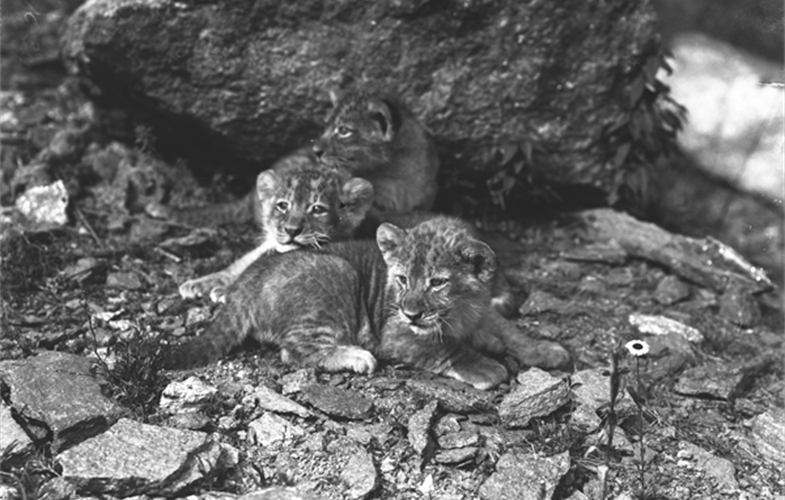 Wildlife Conservation Society_01034_Barbary Lion Cleopatras Cubs_BZ_05 00 03.JPG