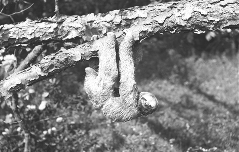 Wildlife Conservation Society_03824_Three-toed Sloth circa 1907_BZ_00 00 00.JPG